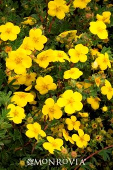 9 best Potentilla bushes images on Pinterest Aztec Compact and