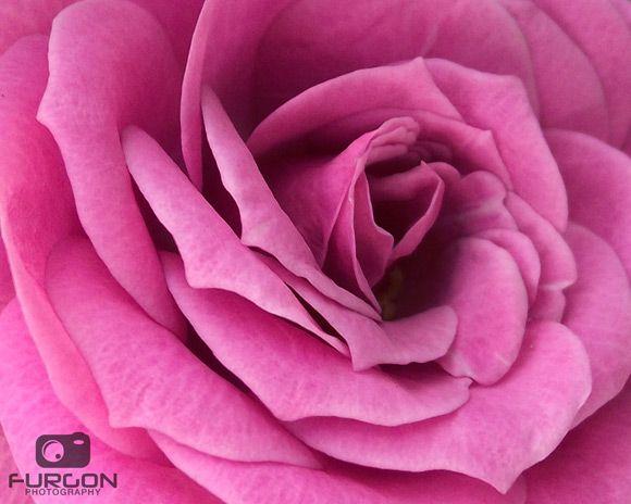 elegant pink rose designzzz.com