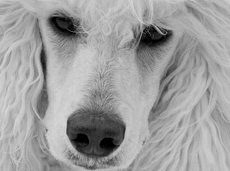 """""""What a face"""" - Max Sometimes I think a poodle is white in color.  Then I see  a  handsome poodle that looks whiter than snow flakes.  Just Amazing!"""