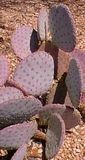 Buy succulents online, buy cactus online. Sale by Trio Nursery in Santa Barbara