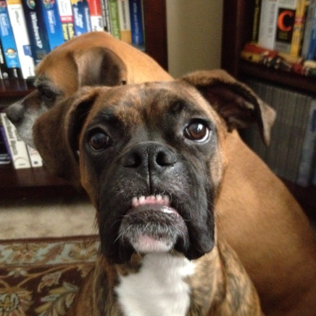 Doggie dentures   Funny dogs Dental Boxer