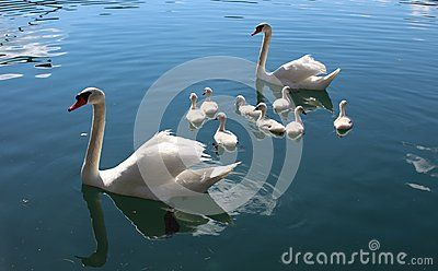 Beautiful swans in a lake