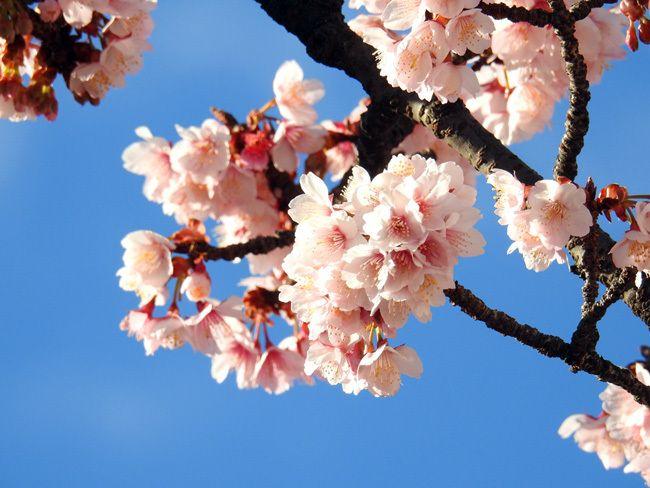 熱海桜20170118-02