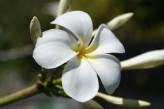 fiore del frangipane - di chiarapelle (Tahiti e Polinesia Francese )