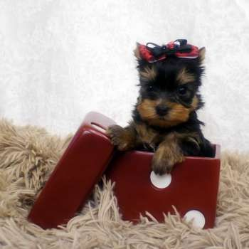 Small Yorkshire Terrier For Sale