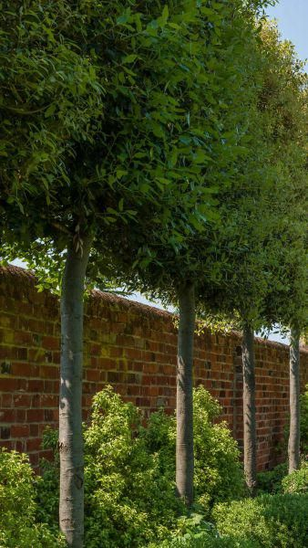 Quercus Ilex Pleached, Trees UK buy online.