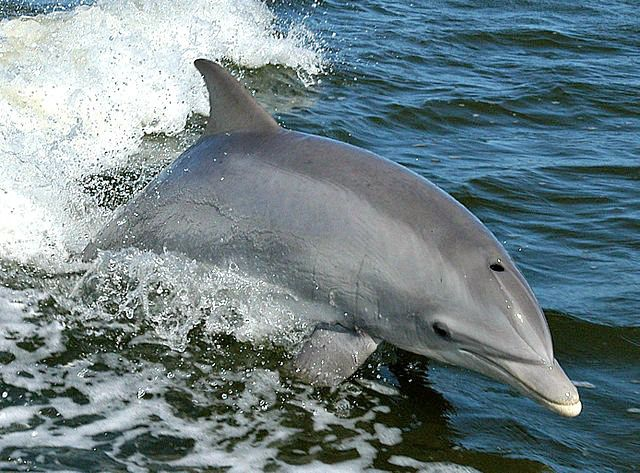 Common bottlenose dolphin breaching in the bow wave of a boat. Common Bottlenose Dolphin - Cool and Interesting Facts for Kids