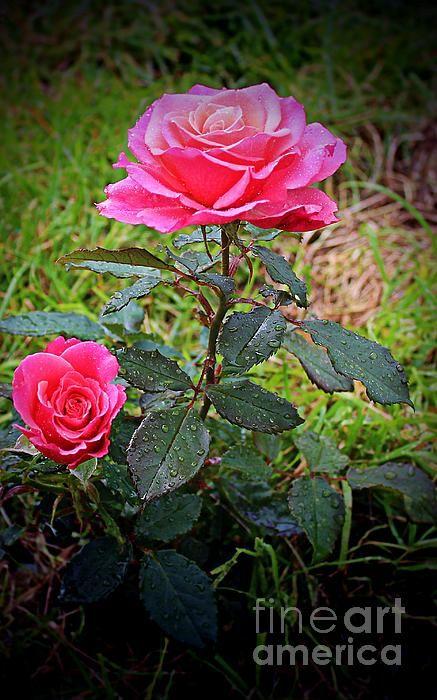 rose vignette