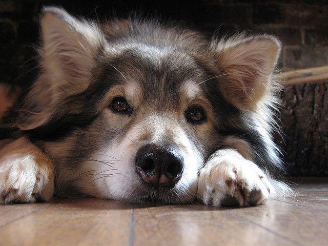 Utonagan. A mix of three breeds: Alaskan Malamute, German Shepherd, and Siberian Husky. I want one!