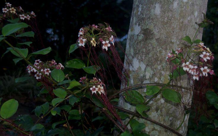 Strophanthus preussii