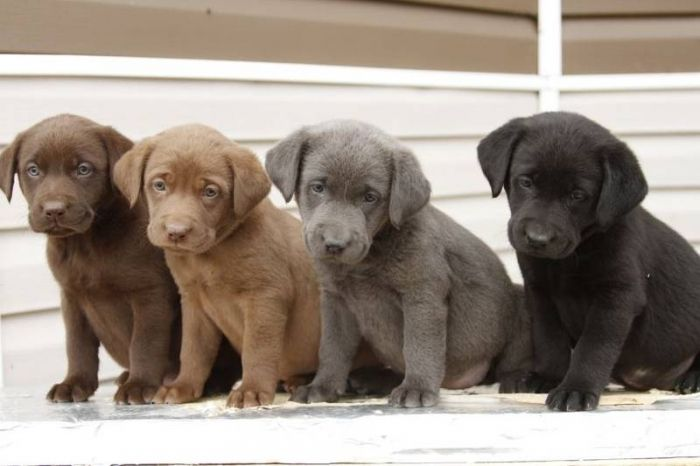 RARE PUREBRED SILVER, CHOCOLATE AND BLACK LAB PUPPIES I'd love to have a silver lab one day!!