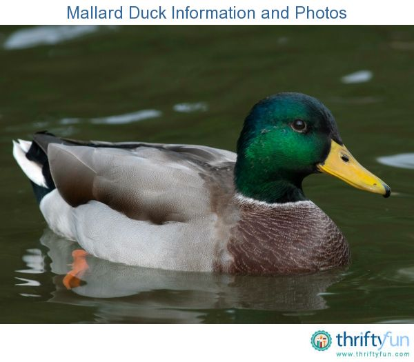 This is a guide about mallard duck information and photos. The mallard has one of the most extensive breeding ranges of any duck in North America. The male mallard is quite recognizable with his brilliant green head and white neck ring.
