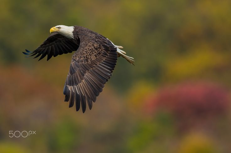 Autumn Feathers - A mature bald eagle flies over the Susquehanna River in front of the late October fall colors.