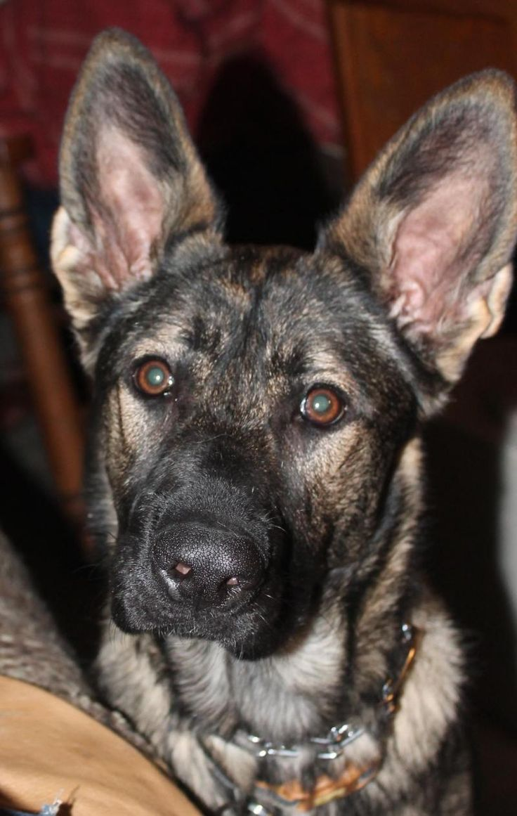 Meet Tara, a Petfinder adoptable German Shepherd Dog Dog | Dallas, TX | Tara is a purebred German Shepherd (with papers). She is a high energy girl with tons of loving for...
