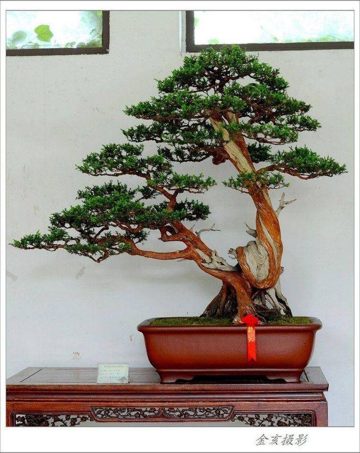 45 besten bonsai twin trunk sokan bilder auf pinterest. Black Bedroom Furniture Sets. Home Design Ideas