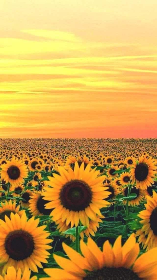 Yellow Aesthetic Wallpaper Soccer Soccer Wallpaper Aesthetic In 2020 Sunflower Wallpaper Sunflower Pictures Nature Photography