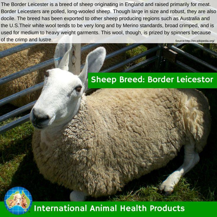 #borderleicestorsheep #borderleicestor #border #leicestor #sheep #ram #ewe #lamb #sheepbreed #breed #facts #green #iah #iahp #internationalanimalhealth #poultry #animal #facts #breeds #livamol #protexin