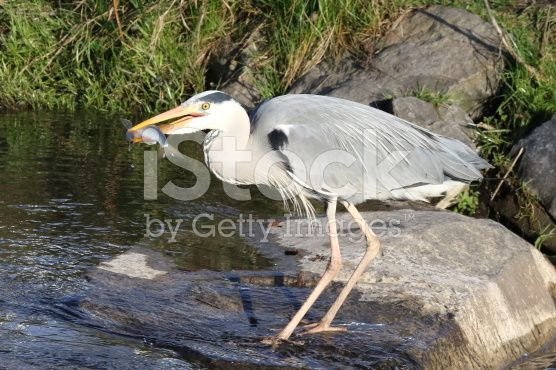 Heron with prey – lizenzfreie Stock-Fotografie