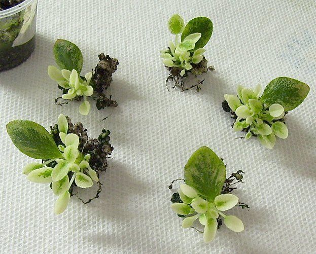 Debbie's African Violets...how to propagate and plant babies