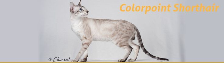 The Colorpoint Shorthair