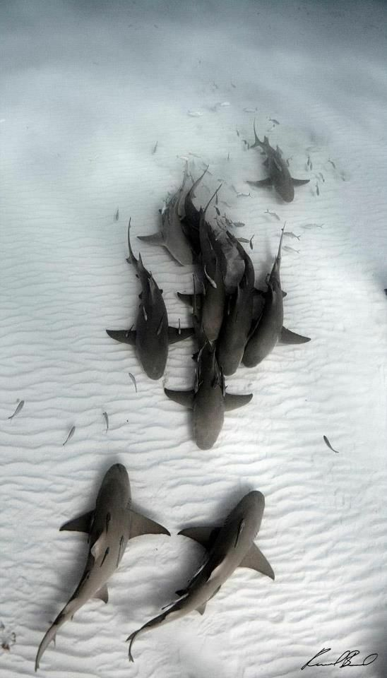 Tubarões no fundo do oceano - Inacreditável, mas assustador. ---Squali sul fondo dell'oceano - Incredibile ma spaventoso.