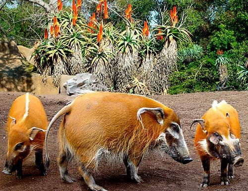 Red River Hogs The red river hog, also known as the bush pig, is a wild member of the pig family living in Africa, with most of its distribution in the Guinean and Congolian forests...