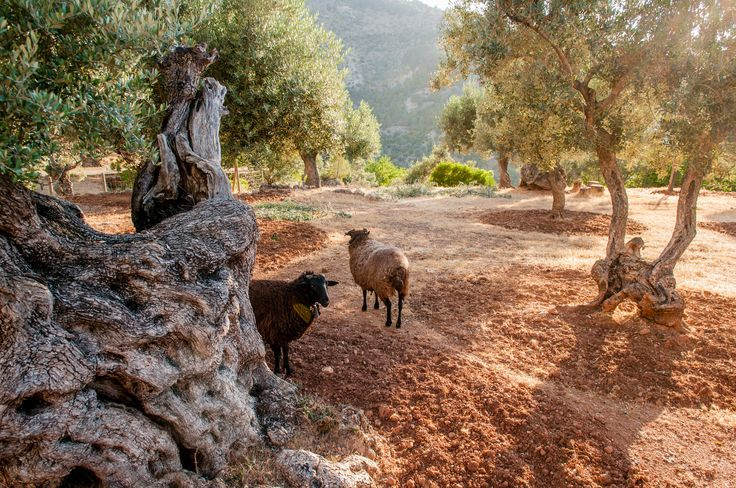 Sheep among the olive trees (Photo: Stefano Buonamici for The New York Times)