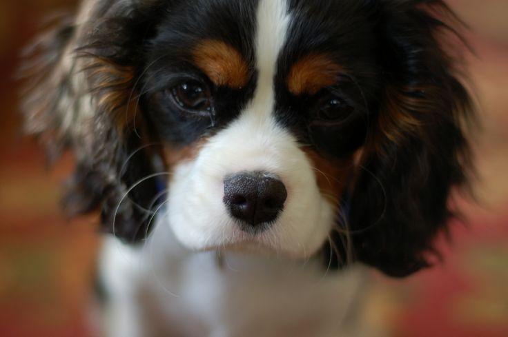 Cavalier King Charles Spaniel!Bernese Mountain Dogs, Google Search, Cavalier Spaniels, Pets Kingdom, Cavalier King Charles, King Charles Cavalier, Animal, Try Cavalier, King Charles Spaniels