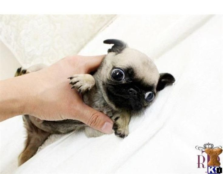Head To The Webpage To See More About Teacup Pug Please Click Here For More Information Our Web Images Are A Mus Pug Puppies For Sale Teacup Pug Pug Puppies