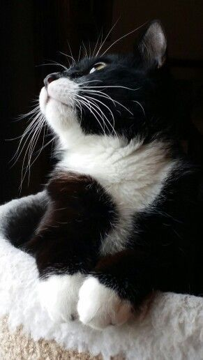 ♔ Magnificent Marcel     Can't help but love black and white (Tuxedo) cats. Never have known one with a bad disposition.