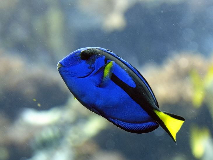 ГОЛУБОЙ ХИРУРГ (Paracanthurus Hepatus) » Домашний аквариум