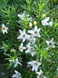Creeping boobialla or Myoporum parvifolium
