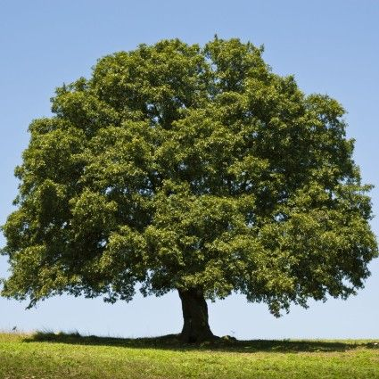 172 Best Images About Quercus On Pinterest Trees And