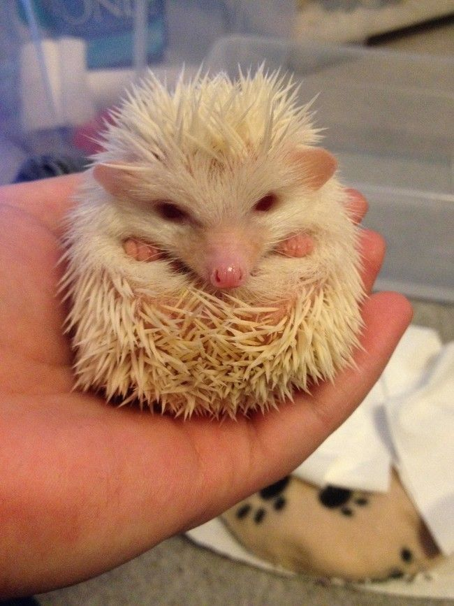 Edgar the hedgehog, however, is truly albino. in 2020 (mit ...