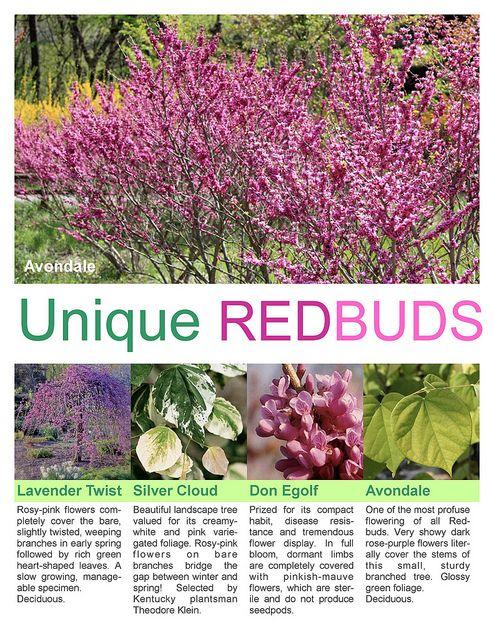 Redbud Tree Varieties | photo