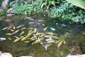 One natural way of controlling unwanted growth in your pond is with fish that eat pond algae.