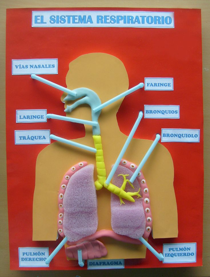 Beautiful respiratory system of 5 everyday materials
