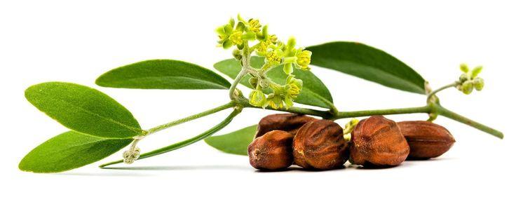 Seguro que la palabra 'aceite de jojoba' os suena de algo...Aprende usos y beneficios de esta perla para cualquier tipo de cabello.