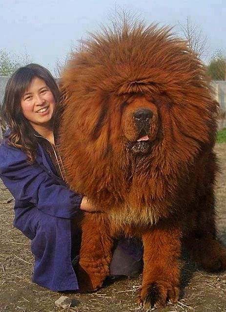 World's most expensive Dog Sold | The Pet's Planet - A property developer in China has apparently paid 12million yuan ($1.9m, £1.2m) for a Tibetan mastiff.