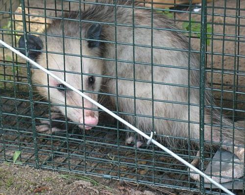 Possum - Chicken Predators - How To Protect Your Chickens From Possums - BackYard Chickens Community