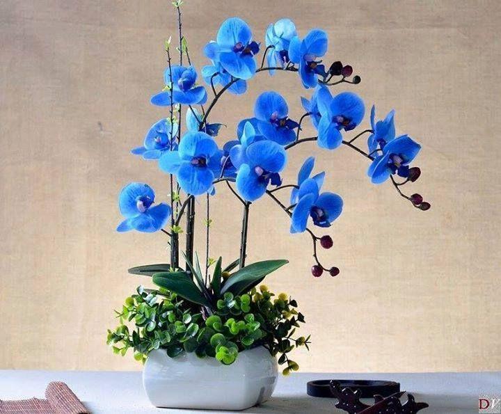 Blue Sapphire Phalaenopsis Orchid