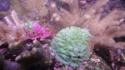 Schöne Korallen aus eigener Zucht: Stein- Weichkorallen, Anemonen in Nordrhein-Westfalen - Stolberg (Rhld) | Wasserpflanzen günstig kaufen | eBay Kleinanzeigen