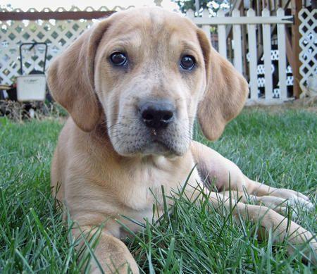 Bindi the Plott Hound / Labrador mix   dogs   Pinterest ...