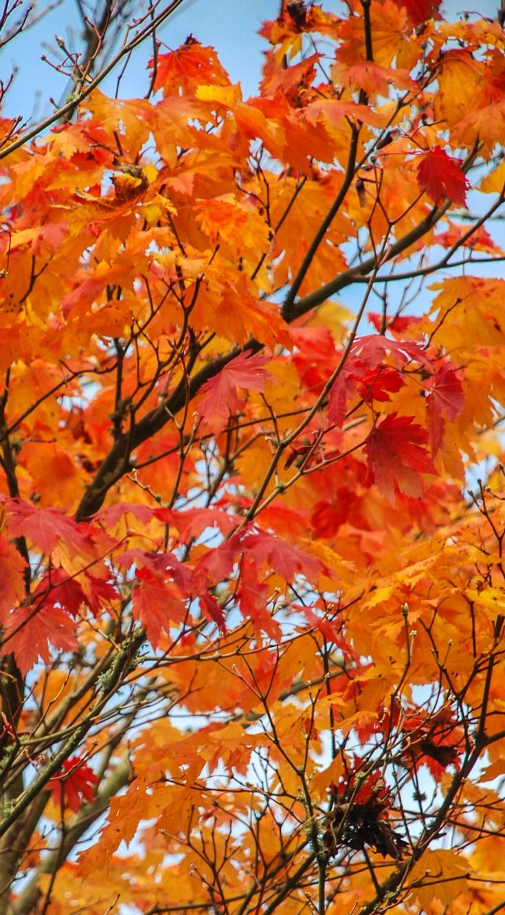 Amazing autumn colors at Tieve Tara gardens in Macedon Ranges. Have you visited yet?