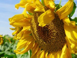 Join us to shoot Sunflowers at Sunset in #BrightonColorado