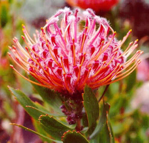 The National Flower of South Africa. Protea