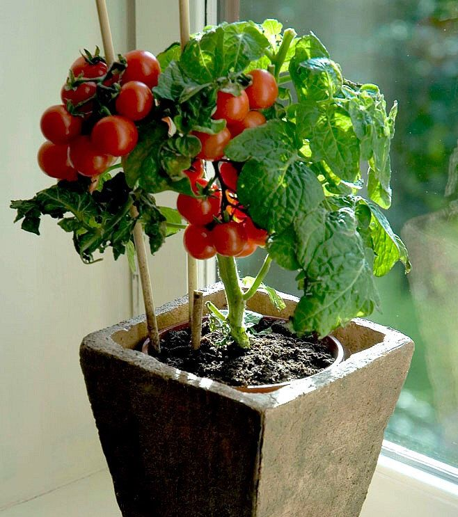 Tiny tim miniature heirloom tomato 25 seeds teeny fruit What are miniature plants grown in pots called