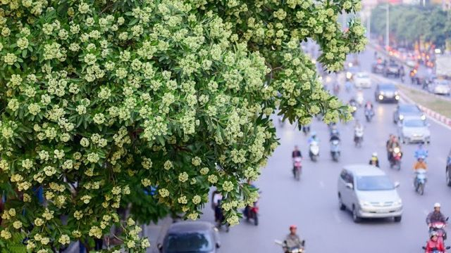 Can't stand the scent of milkwood pine flowers? It is still better than air pollution - Nhan Dan Online