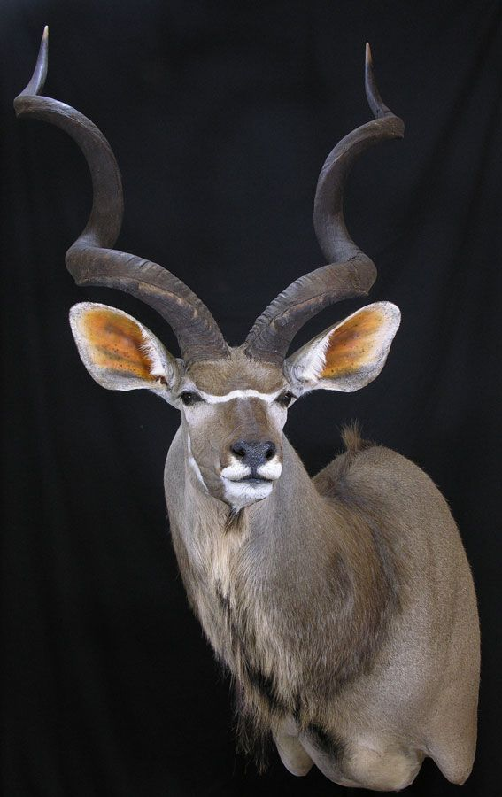 Kudu Head Mount Taxidermy And Pelts Pinterest