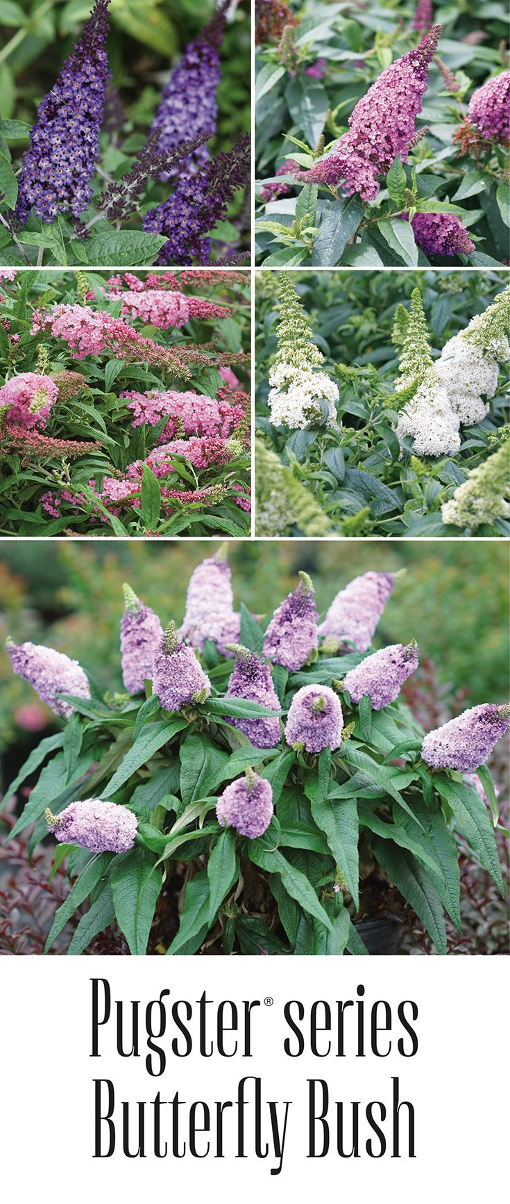 There S A Reason These Petite Flowering Shrubs Are Often Referred
